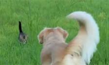 子猫を迎えに行くゴールデンレトリバ